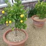 Biljka Limuna u saksiji