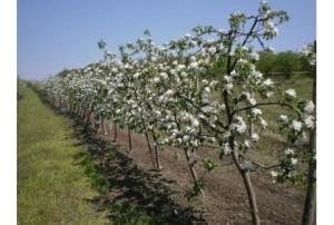 Cvetanje jabuke